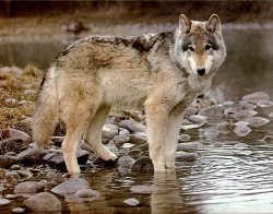 Wolf standing in water, in Grand Teton National Park, close to Yellowstone. Courtesy US National Park Service.