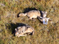 Two wolf pups gnaw on bison bones Courtesy US National Park Service