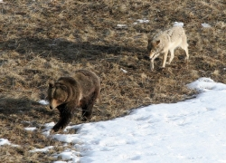 Leopold wolf following grizzly bear Courtesy US National Park Service, Doug Smith Photographer, April 2005