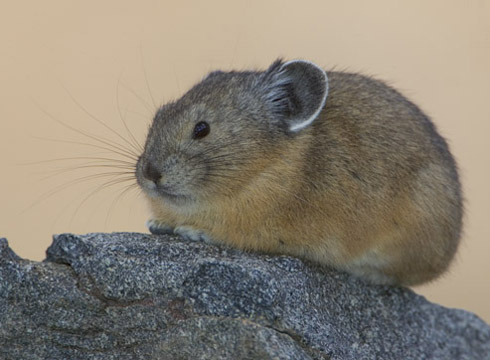 Pikas, Our First Haymakers