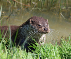 Otter Courtesy Pixabay