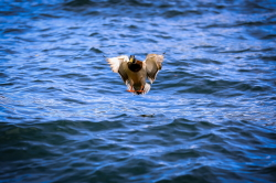 Duck Tornado: Male Mallard, Wings Set Courtesy Pixabay, Ilona Ilyés(ilyessuti), Photographer