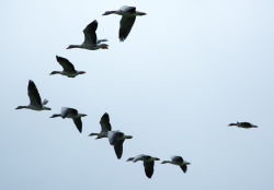 The Wonders of Bird Migration: Geese in Formation, Courtesy Pixabay Manfred Antranias Zimmer, Photographer