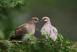Christmas Bird Count: Mourning Dove Pair Courtesy Pixabay www.pixabay.com
