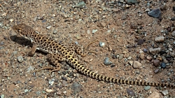 Herps: Long-nosed Leopard Lizard Gambelia-wislizenii Free Image, Courtesy PXhere.com