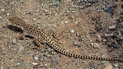 Herps: Long-nosed Leopard Lizard Gambelia-wislizenii Free Image, Courtesy PXhere.com