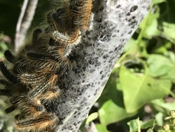 Western Tent Caterpillars Malacosoma californicum, Courtesy & Copyright Shannon Rhodes, Photographer