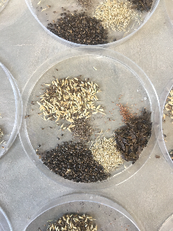 Seeds of several native wetland plant species Courtesy & © Rae Robinson