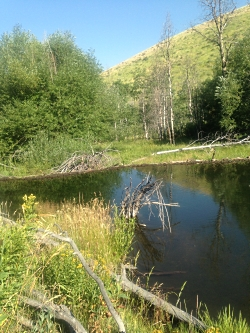 Beaver Dam at USU Forestry Camp (LCFS hike) Courtesy & Copyright Hilary Shughart