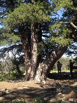 Rob & Jack & big tree, Limber Pine hike Courtesy & Copyright Hilary Shughart