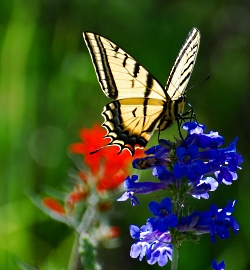 Tiger Swallowtail, Papilio rutulus Lucas, Courtesy & Copyright Shalayne Smith-Needham, Photographer