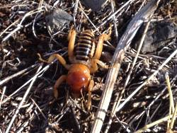 Jerusalem Cricket Orthoptera: Stenopelmatidae Copyright 2013 Holly Strand