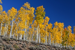 Pando the world's largest discovered organism at Fishlake in central Utah Image courtesy USDA Forest Service J Zapell, Photographer