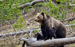 Mother Grizzly Bear and Cubs in Yellowstone National Park Courtesy USGS Frank T. van Manen, Photographer